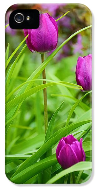 Tulips iPhone 5 Cases - Purple Gems- Purple Tulips Rhode Island Tulips Purple Flower iPhone 5 Case by Lourry Legarde