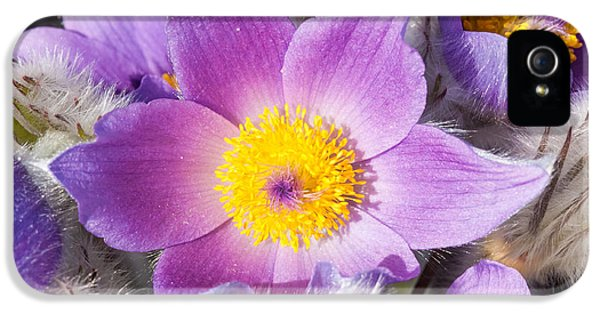 Pasque Flower iPhone 5 Cases - Purple pasque flower in spring iPhone 5 Case by Matthias Hauser