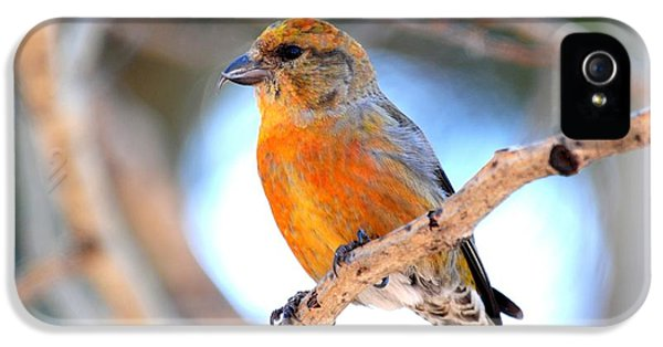 Red Crossbill On Aspen IPhone 5 / 5s Case by Marilyn Burton