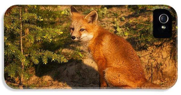 Fox Kits iPhone 5 Cases - Red Fox Kit iPhone 5 Case by Mark Kiver