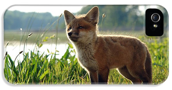 Young Foxes iPhone 5 Cases - Red Fox Kit iPhone 5 Case by Olivier Le Queinec