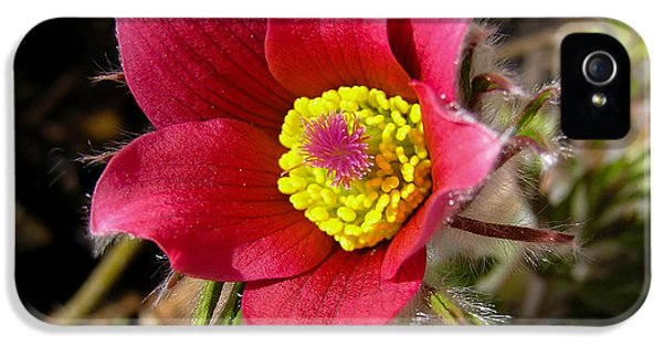 Common Pasque Flower iPhone 5 Cases - Red Pasque Flower - closeup iPhone 5 Case by Kerstin Ivarsson