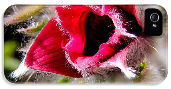 Common Pasque Flower iPhone 5 Cases - Red Pasque Flower in Sunlight - closeup iPhone 5 Case by Kerstin Ivarsson