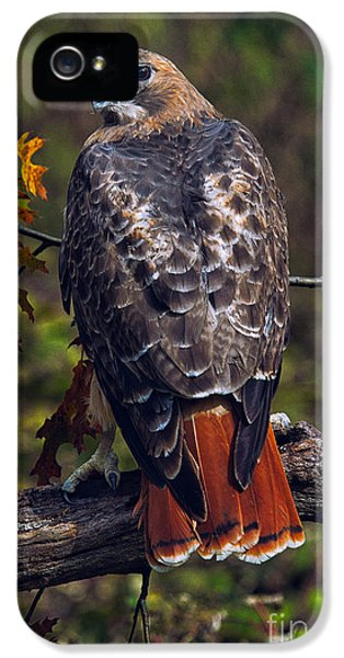 Red Tailed Hawk iPhone 5 Cases - Red Tailed Hawk iPhone 5 Case by Todd Bielby
