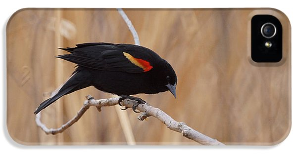 Red Winged Blackbird 1 IPhone 5 / 5s Case by Ernie Echols