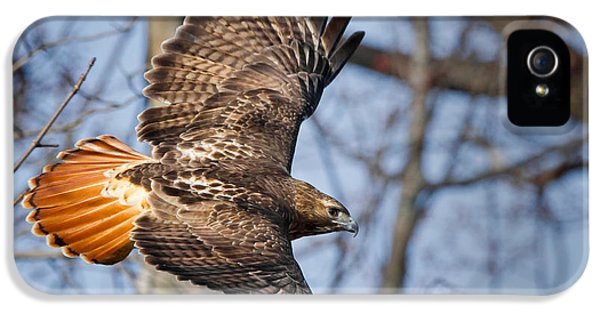Red Tailed Hawk iPhone 5 Cases - Redtail Hawk iPhone 5 Case by Bill  Wakeley