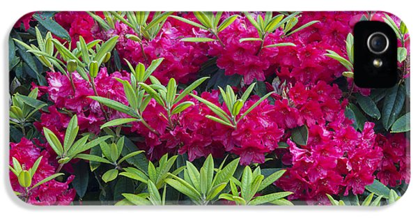 Shore Acres iPhone 5 Cases - Rhododendron In The Garden At Shore iPhone 5 Case by John Shaw