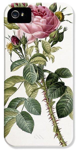 Prickly Rose iPhone 5 Cases - Rosa Bifera macrocarpa iPhone 5 Case by Pierre Joseph Redoute