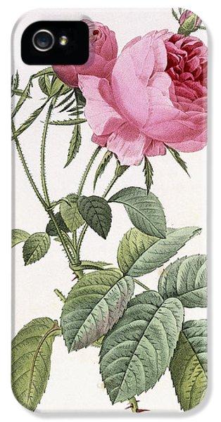 Prickly Rose iPhone 5 Cases - Rosa centifolia foliacea iPhone 5 Case by Pierre Joseph Redoute