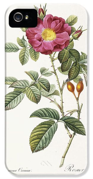 Prickly Rose iPhone 5 Cases - Rosa Damascena Coccina iPhone 5 Case by Pierre Joseph Redoute