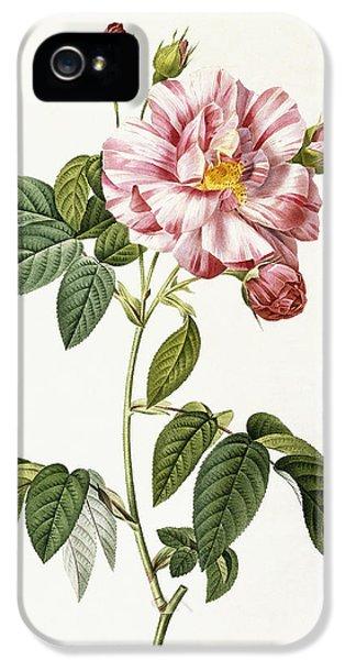 Roses iPhone 5 Cases - Rosa Gallica Versicolor iPhone 5 Case by Pierre Joseph Redoute