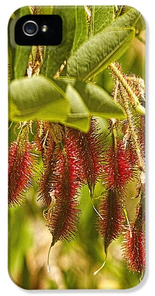 Bristly Rose iPhone 5 Cases - Rose Acacia Bristly Locust Seed Pods iPhone 5 Case by Constantine Gregory