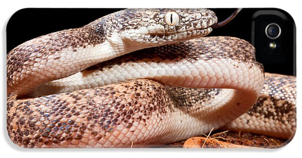 Savu Python In Defensive Posture IPhone 5 / 5s Case by David Kenny