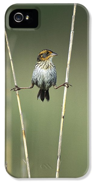 Passeridae iPhone 5 Cases - Sharp-tailed Sparrow On Reeds Long iPhone 5 Case by Tom Vezo