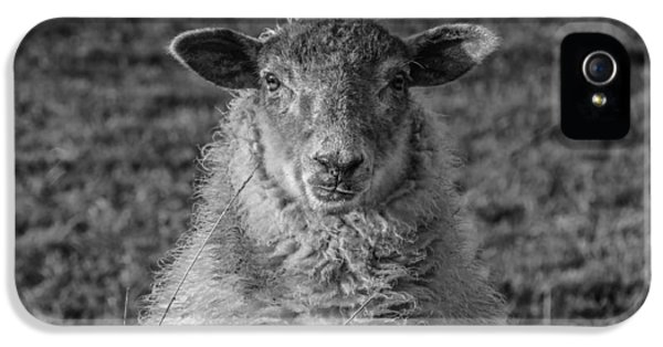 Wool iPhone 5 Cases - Sheep iPhone 5 Case by Chris Fletcher