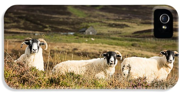Ewe iPhone 5 Cases - Sheep trio iPhone 5 Case by Jane Rix
