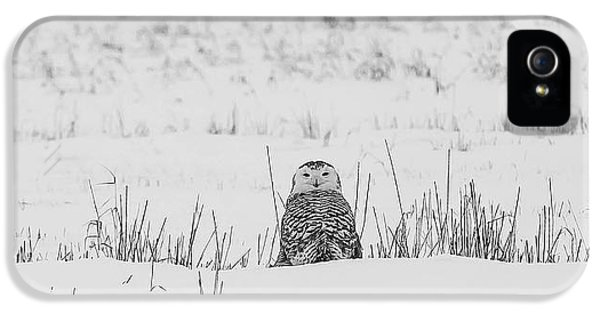 Black Snow iPhone 5 Cases - Snowy Owl in Snowy Field iPhone 5 Case by Carrie Ann Grippo-Pike