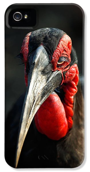 Beak iPhone 5 Cases - Southern Ground Hornbill portrait front view iPhone 5 Case by Johan Swanepoel
