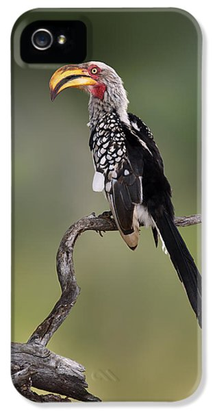 Southern Yellowbilled Hornbill IPhone 5 / 5s Case by Johan Swanepoel