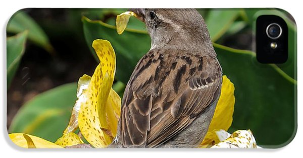 Passeridae iPhone 5 Cases - Sparrow iPhone 5 Case by Zina Stromberg