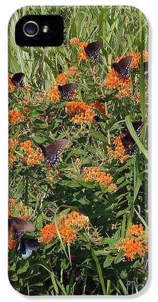 Arthropod iPhone 5 Cases - Spicebush Swallowtail Butterflies iPhone 5 Case by Susan Leavines