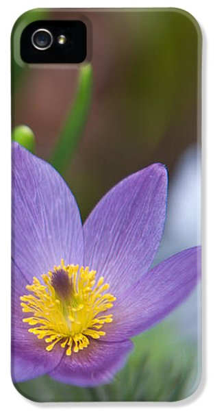 Pasque Flower iPhone 5 Cases - Spring Flowers. Flowers of Holland iPhone 5 Case by Jenny Rainbow