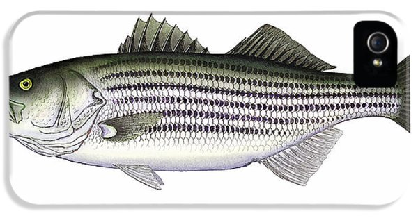 Fishing iPhone 5 Cases - Striped Bass iPhone 5 Case by Charles Harden