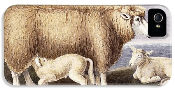 Ewe iPhone 5 Cases - The Cotswold Breed iPhone 5 Case by David Low