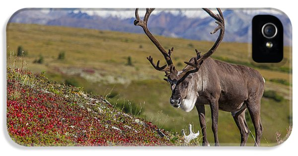 Caribous iPhone 5 Cases - The End of Summer iPhone 5 Case by Tim Grams