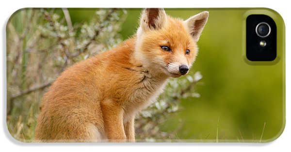 Young Foxes iPhone 5 Cases - The New Kit ...Curious Red Fox Cub iPhone 5 Case by Roeselien Raimond
