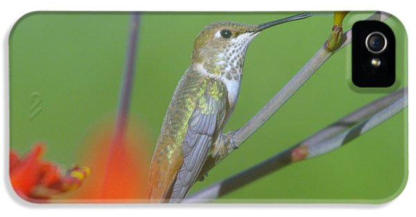 The White House Photographs iPhone 5 Cases - The tongue of a humming bird  iPhone 5 Case by Jeff  Swan