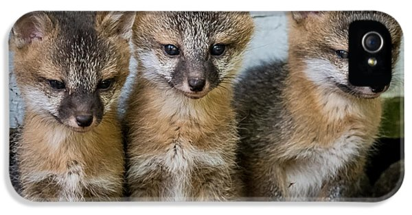 Young Foxes iPhone 5 Cases - Three Fox Kits iPhone 5 Case by Paul Freidlund