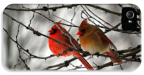 Wildlife iPhone 5 Cases - True Love Cardinal iPhone 5 Case by Peggy  Franz