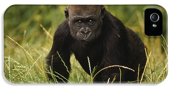 Western Lowland Gorilla Juvenile IPhone 5 / 5s Case by Gerry Ellis