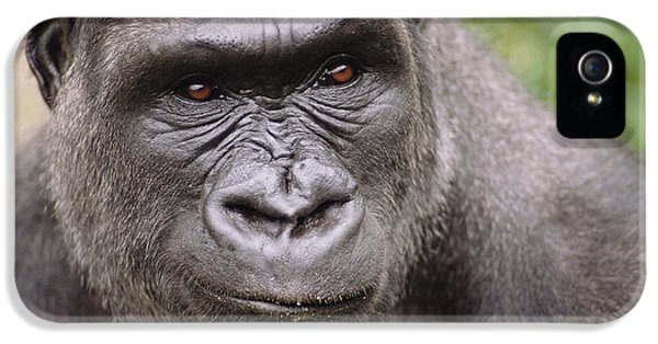 Western Lowland Gorilla Young Male IPhone 5 / 5s Case by Gerry Ellis