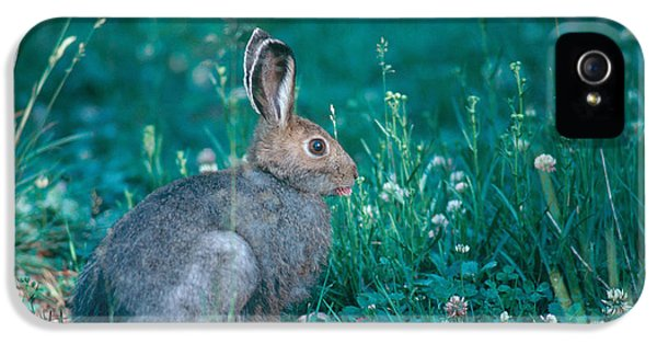 Jackrabbit iPhone 5 Cases - White-tailed Jackrabbit iPhone 5 Case by Gregory G. Dimijian, M.D.