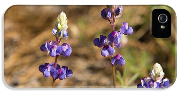 Lupin iPhone 5 Cases - Wild lupins iPhone 5 Case by Jane Rix
