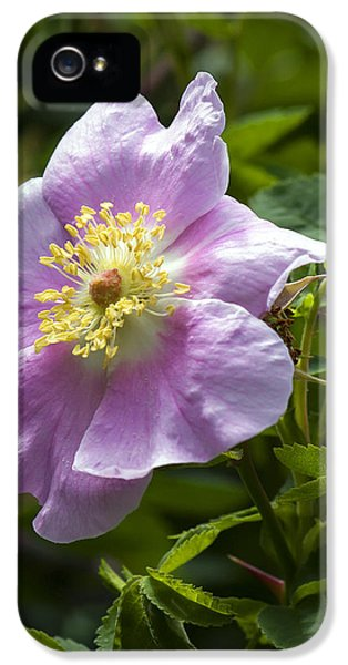 Rosa Acicularis iPhone 5 Cases - Wild Rose Blossom iPhone 5 Case by Derek Holzapfel
