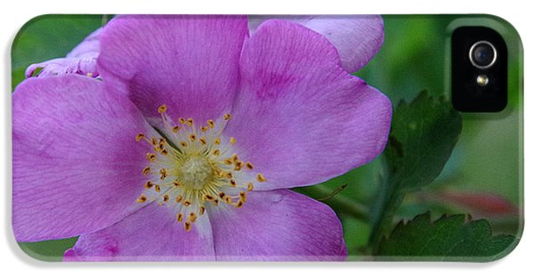 Rosa Acicularis iPhone 5 Cases - Wild Rose iPhone 5 Case by Harvey Dalley