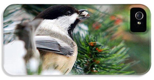 Winter Chickadee With Seed IPhone 5 / 5s Case by Christina Rollo