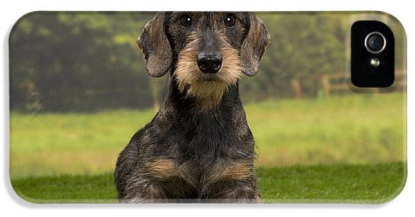 Canid iPhone 5 Cases - Wirehaired Dachshund iPhone 5 Case by Jean-Michel Labat