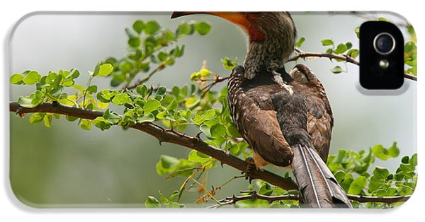 Yellow-billed Hornbill IPhone 5 / 5s Case by Bruce J Robinson