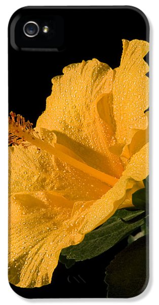 Pistil iPhone 5 Cases - Yellow Hibiscus Flower Water Drops iPhone 5 Case by Keith Webber Jr