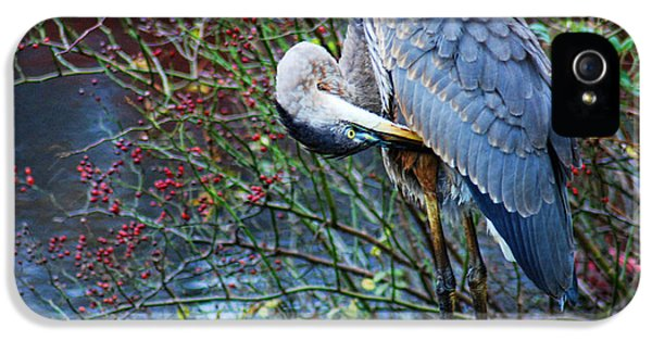 Bird Watcher iPhone 5 Cases - Young Blue Heron Preening iPhone 5 Case by Paul Ward