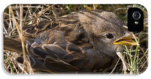 Passer Domesticus iPhone 5 Cases - Young House Sparrow iPhone 5 Case by Linda Freshwaters Arndt
