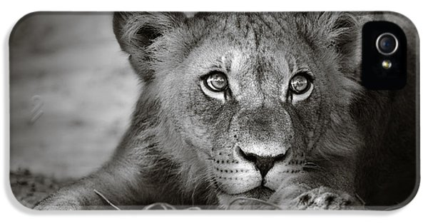 Cubs iPhone 5 Cases - Young lion portrait iPhone 5 Case by Johan Swanepoel