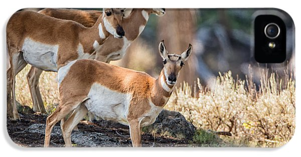 Wild iPhone 5 Cases - Young Pronghorn at Yellowstone iPhone 5 Case by Andres Leon