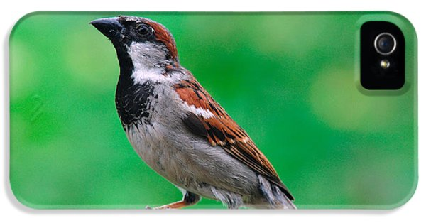 Passer Domesticus iPhone 5 Cases - House Sparrow iPhone 5 Case by Thomas R Fletcher