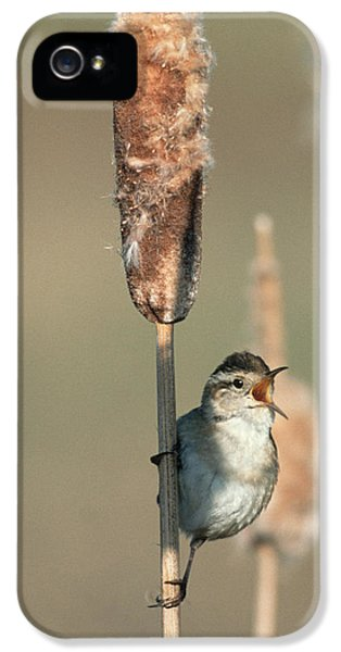 Passeridae iPhone 5 Cases - Marsh Wren Singing While Perching iPhone 5 Case by Tim Fitzharris
