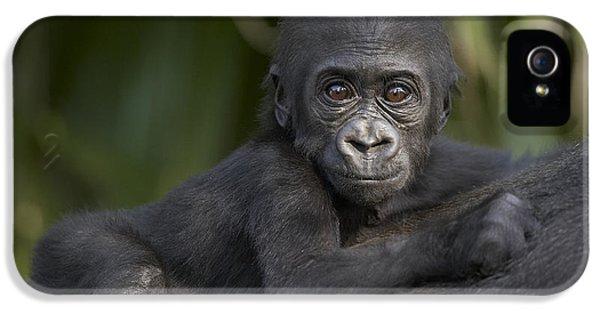 Western Lowland Gorilla Gorilla Gorilla IPhone 5 / 5s Case by San Diego Zoo